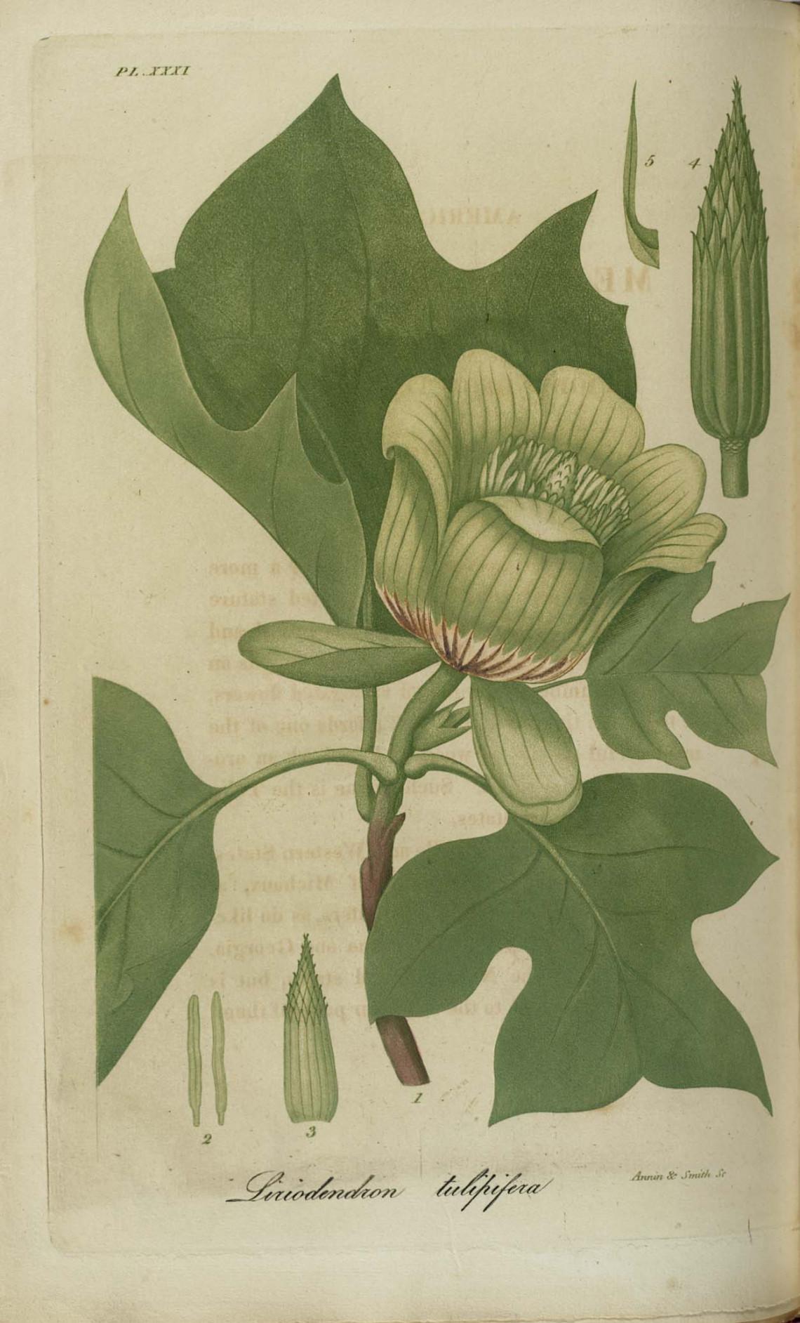 Tulipánovník